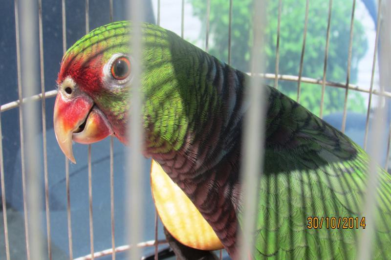 Papagaio-de-peito-roxo � entregue voluntariamente � FAMAI